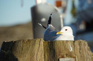 Gull nesting on a pole in Edshultshall harbor